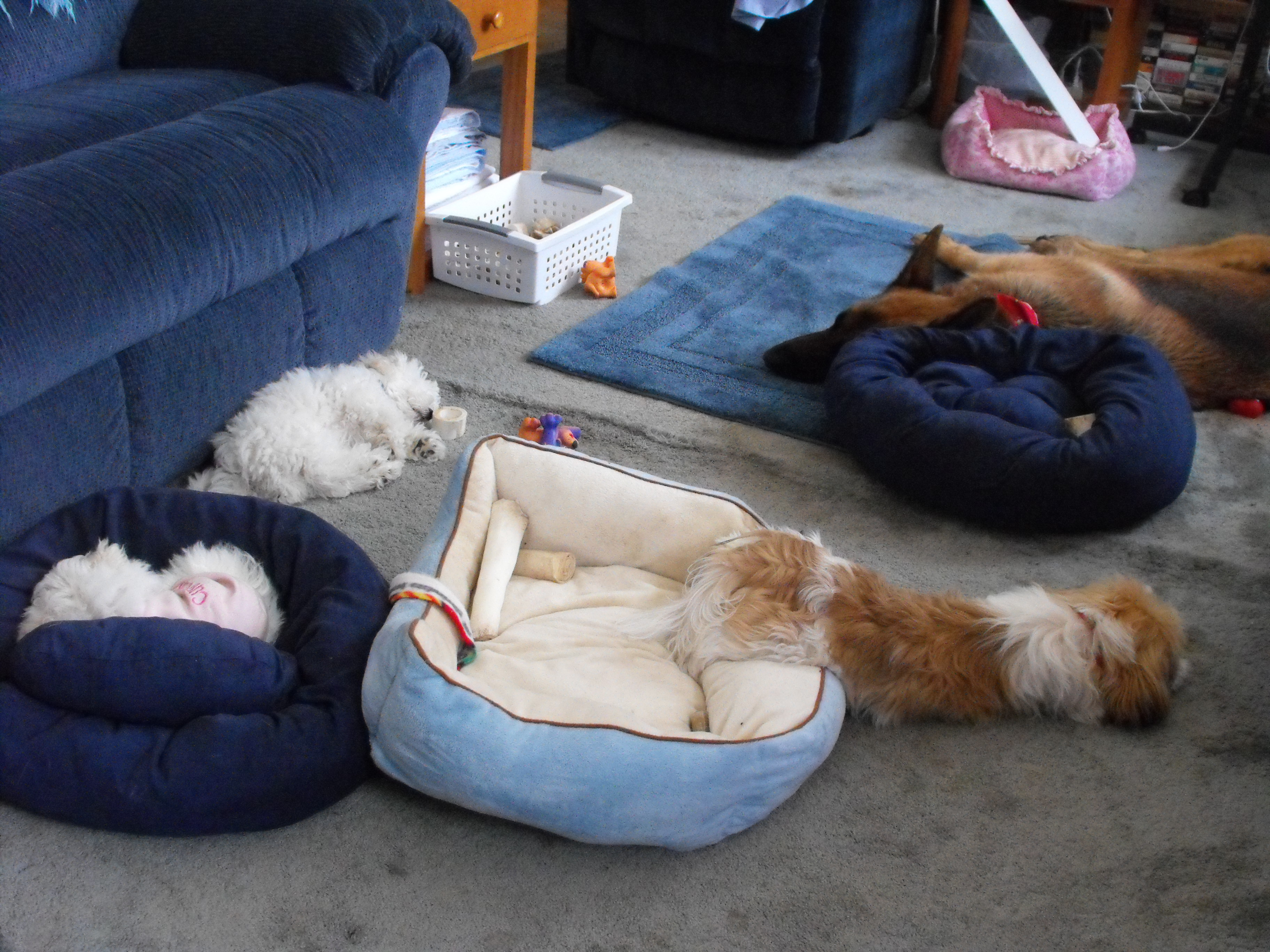 dogs sleeping all over
