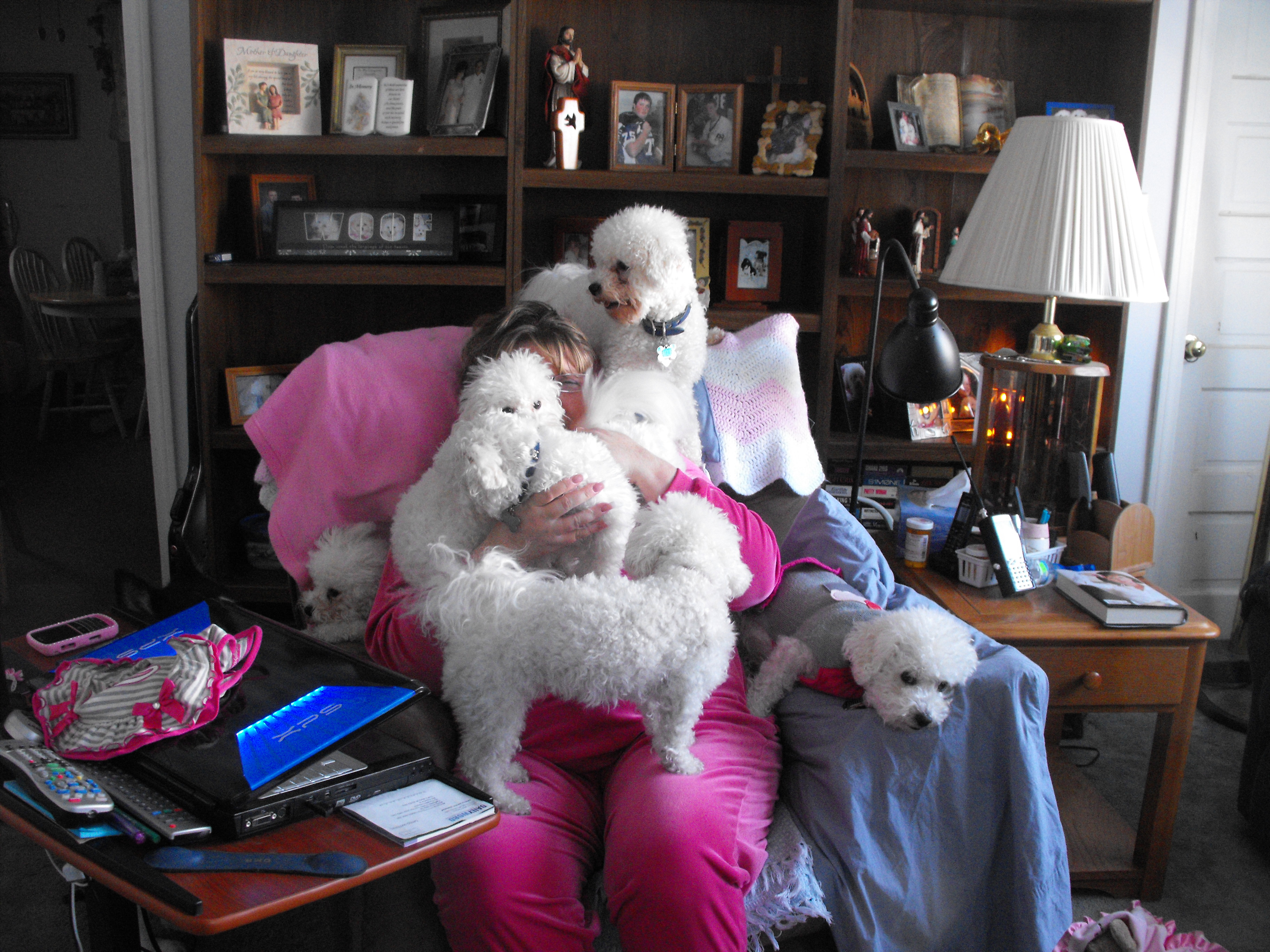 That's me covered in Bichons